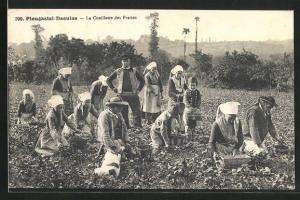 AK Plougastel-Daoulas, Erntearbeiter pflücken Erdbeeren, Obst