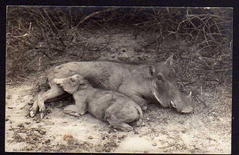 Ansichtskarte DSW Windhuk Warzenschweine um 1910