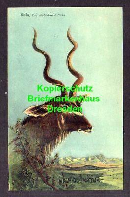 Ansichtskarte Windhuk Deutsch Südwest Afrika Kudu 1906 Antilopen Gattung