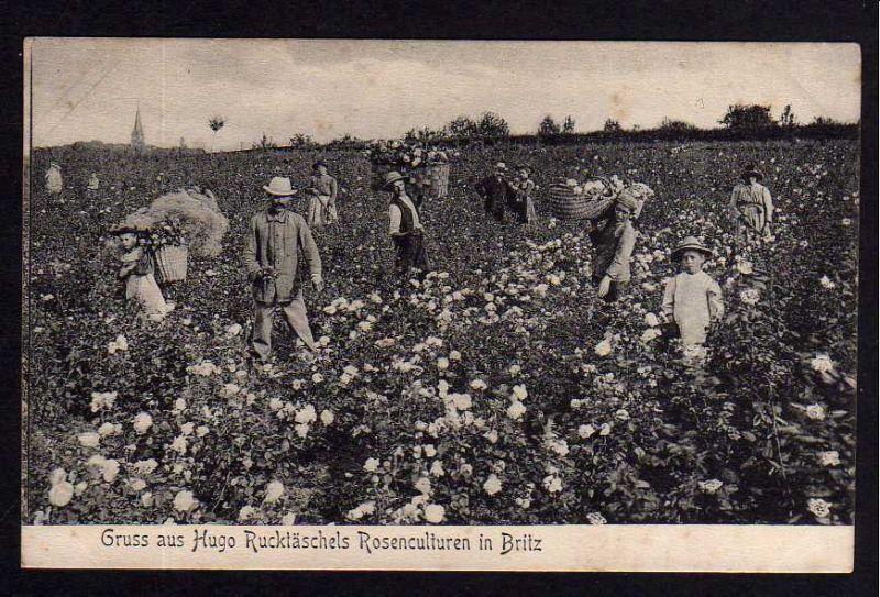 Ansichtskarte Berlin Britz Hugo Rucktäschels Rosenkulturen Rosenfeld um 1910