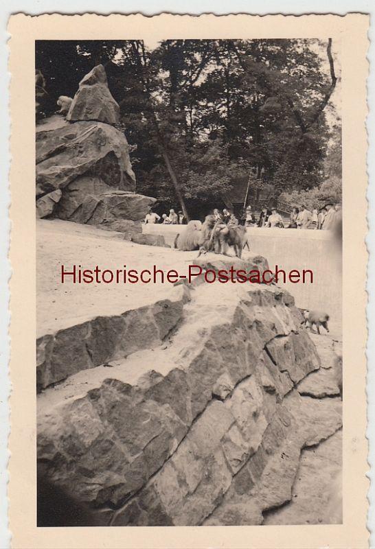 (F10628) Orig. Foto Berlin, Berliner Zoo 1941, Paviane