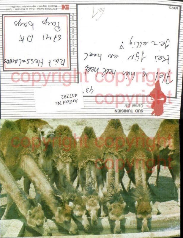 Sud Tunisien Tunesien Camel Bar Kamele Tiere