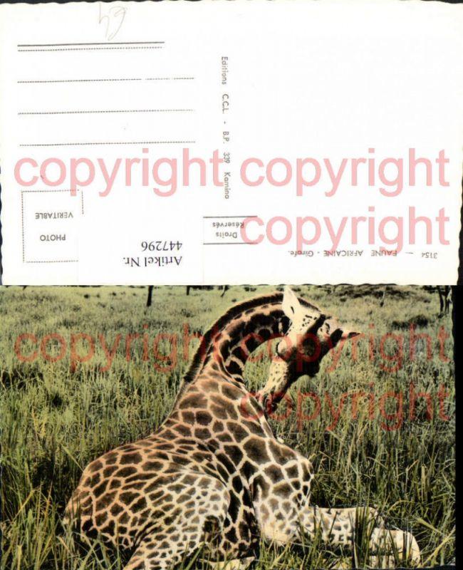 Faune Africaine Afrika Girafe Giraffe Tier