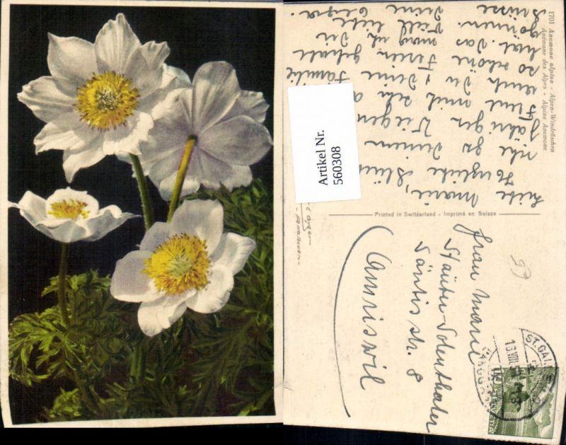 Alpen Windröschen Anemone Blumen
