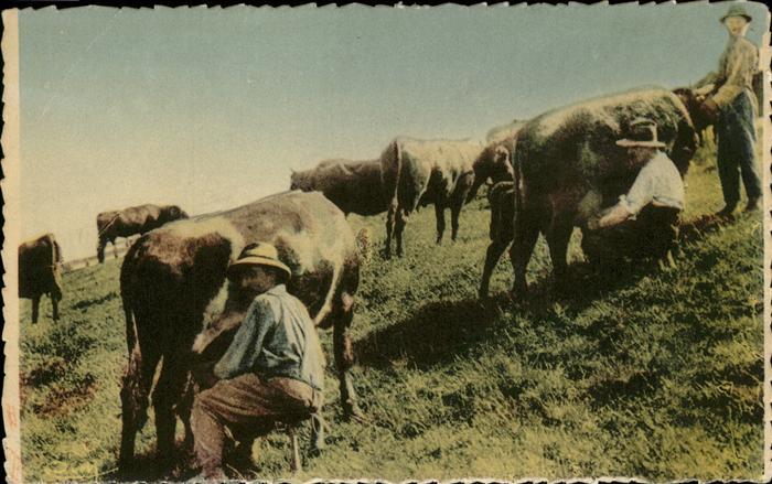 Bauern Kuhe beim Melken