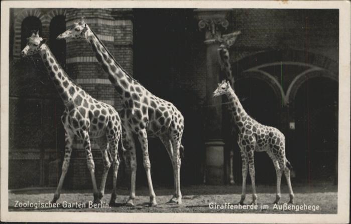 Tiere Zoo Berlin Giraffen / Tiere /