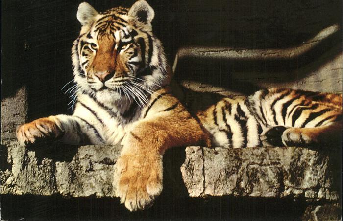 Tiger Tiere Zoo Zuerich Sibirischer Tiger Kat. Tiere