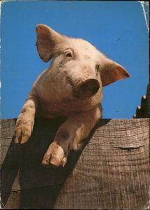 Schweine  Kat. Tiere