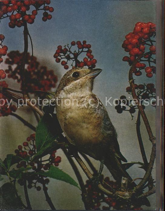 Tiere Vogel Rotkopfwuerger / Tiere /