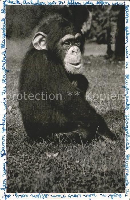 Affen Schimpanse Carl Hagenbeck s Tierpark Hamburg Stellingen  Kat. Tiere