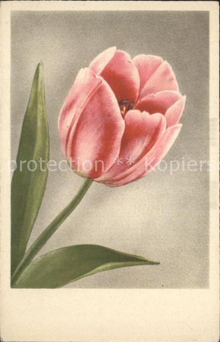 Blumen Tulpe  Kat. Pflanzen