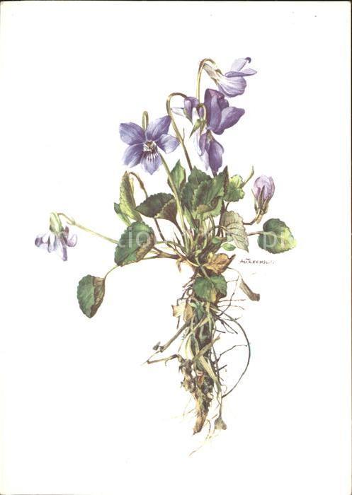 Kuenstlerkarte A.M. Trechslin Sumpf Veilchen violette des marais Kat. Kuenstlerkarte