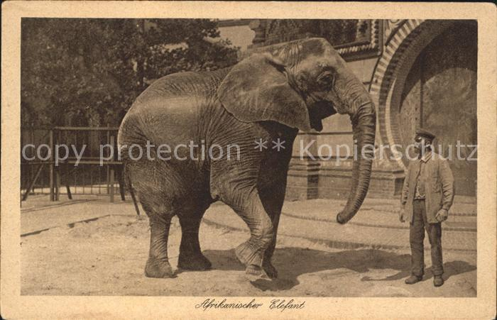 Elefant Afrikanischer Elefant Kat. Tiere