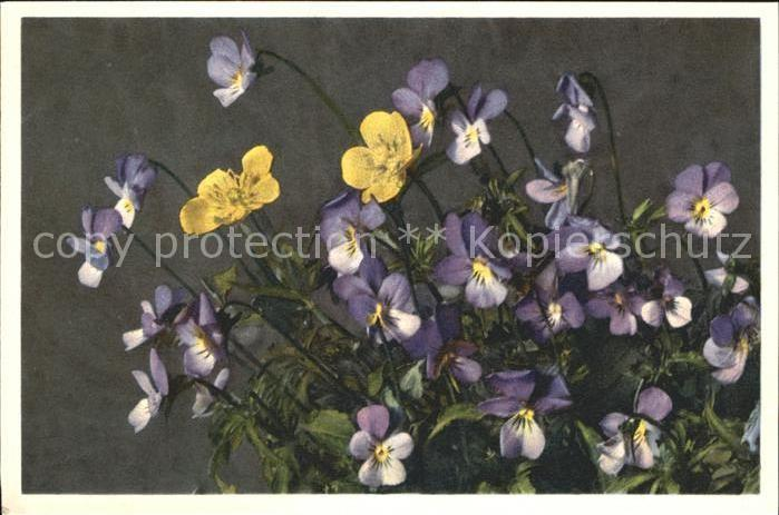 Blumen Stiefmuetterchen Viola tricolor Foto E. Gyger Nr. 357 Kat. Pflanzen