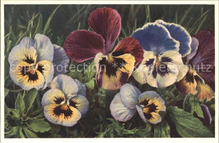 Blumen Stiefmuetterchen Viola tricolor Foto E. Gyger Nr. 1080 Kat. Pflanzen