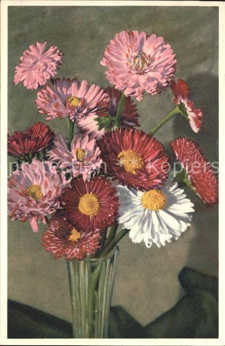 Blumen Garten Massliebchen Bellis perennis Foto E. Gyger Nr. 2714 Kat. Pflanzen