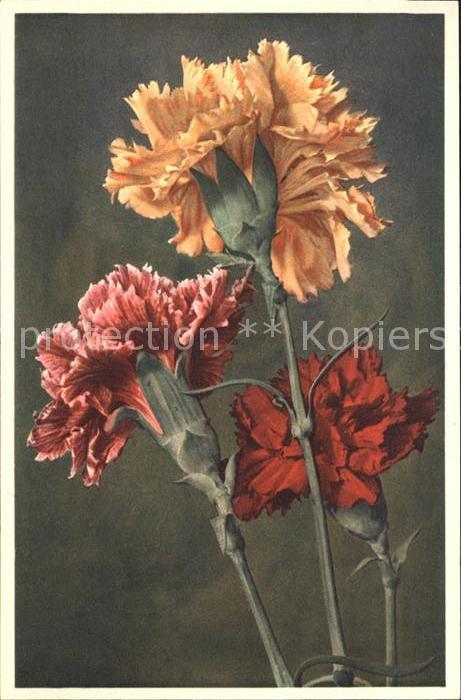 Blumen Dianthus caryophyllus Gartennelke Foto E. Gyger Nr. 776 Kat. Pflanzen