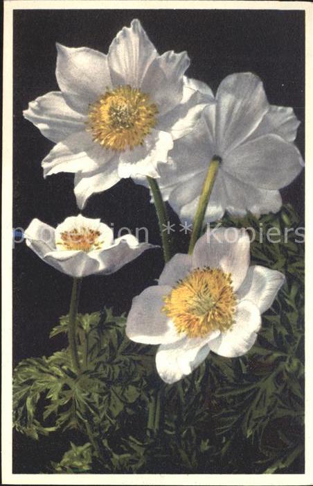 Blumen Alpen Windroeschen Monte Baldo Anemone Foto E. Gyger Nr. 1701 Kat. Pflanzen