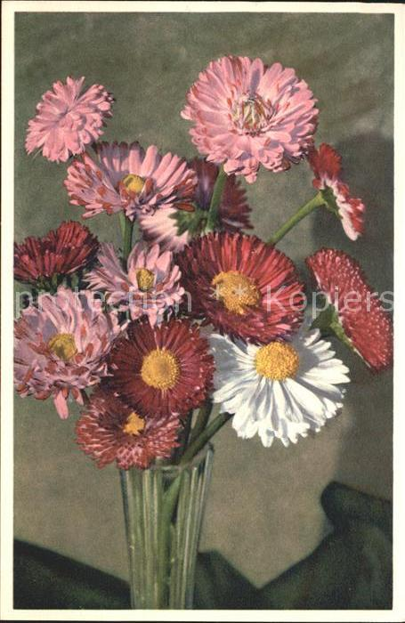 Blumen Garten Massliebchen Bellis prennis Foto E. Gyger Nr. 2714 Kat. Pflanzen