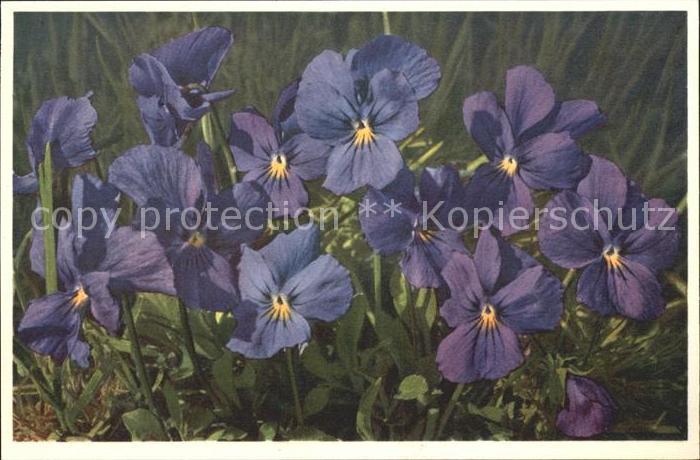 Blumen Langsporniges Veilchen Viola calcarata Foto E. Gyger Nr. 1666 Kat. Pflanzen