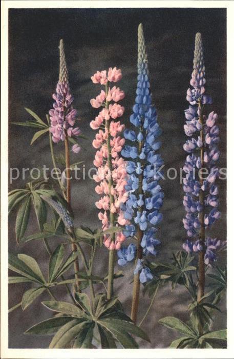 Blumen Lupinus polyphyllus Garten Lupine Foto E. Gyger Nr. 290 Kat. Pflanzen