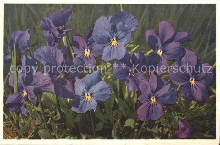 Blumen Viola calcarata Langsporniges Veilchen Foto E. Gyger Nr. 1666 Kat. Pflanzen