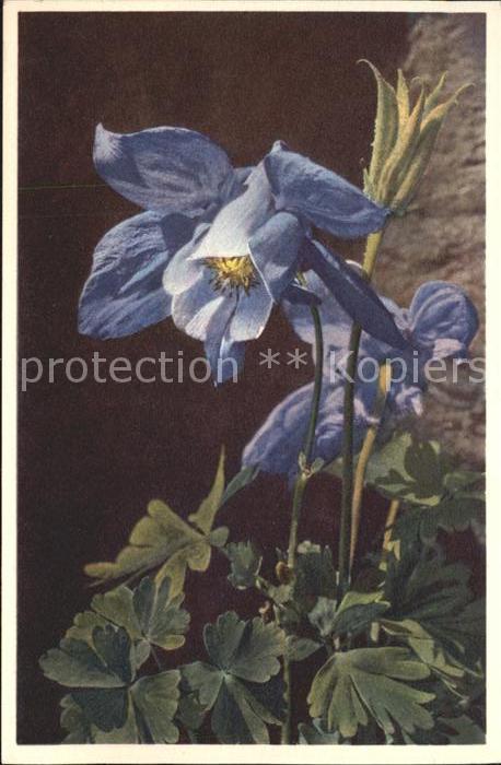 Blumen Alpen Akelei Aquilegia alpina Foto E. Gyger Nr. 2648 Kat. Pflanzen