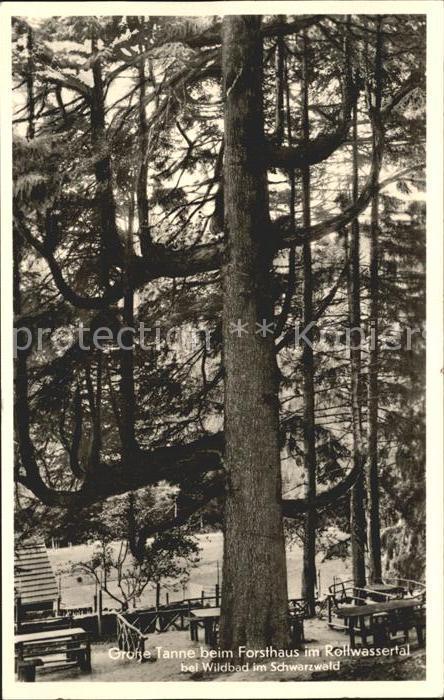 Baeume Trees Grosse Tanne Forsthaus im Rollwassertal Wildbad Schwarzwald  Kat. Pflanzen