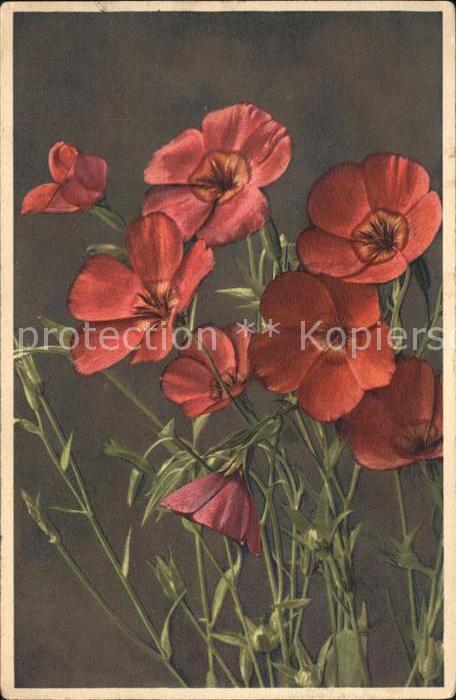 Blumen Roter Lein Linum grandiflorum rubrum Kat. Pflanzen