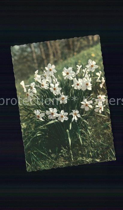 Blumen Weisse Narzissen Dichternarzisse Kat. Pflanzen Nr. sv08415 ...