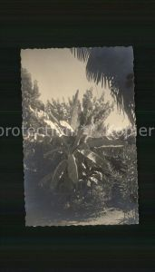 Bananen Bananenbaum Locarno Kat. Pflanzen