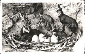 Gemse Gemsennest Eier  Kat. Tiere