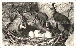 Gemse Gemsennest Eier Gaffia Piz Sol  Kat. Tiere