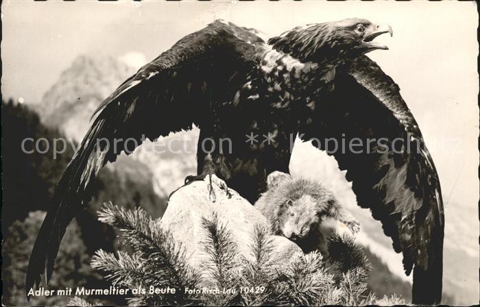 Adler Murmeltier Beute Foto Risch Lau Nr. 10429 Kat. Tiere