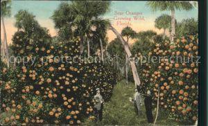 Orangen Oranges Sour Oranges Florida  Kat. Landwirtschaft
