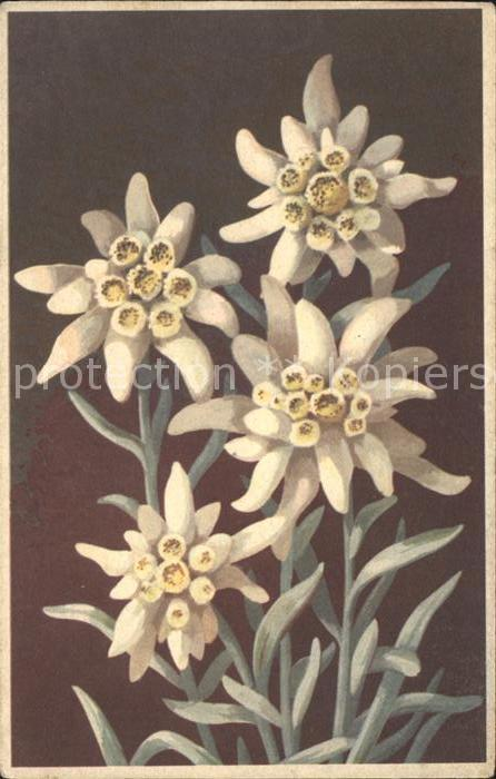 Edelweiss Etoile des Glaciers Kat. Pflanzen