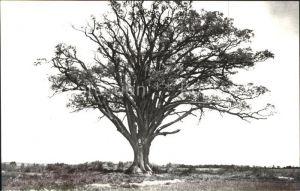 Baeume Trees Lummen Eik Eiche  Kat. Pflanzen