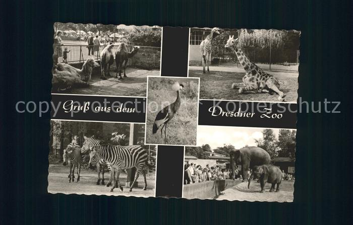 Giraffe Zebra Elefant Dromedar Zoo Dresden  Kat. Tiere