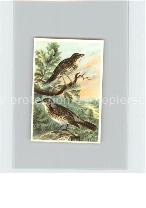 Voegel Singdrossel Wacholderdrossel Kosmos Zigarettenbilder Bild Nr. 80 Kat. Tiere