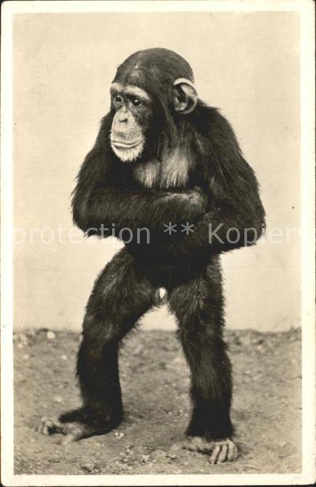 Affen Schimpanse Carl Hagenbeck s Tierpark Altona Stellingen Hamburg Kat. Tiere