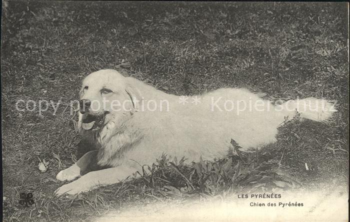 Hunde Chien des Pyrenees  Kat. Tiere