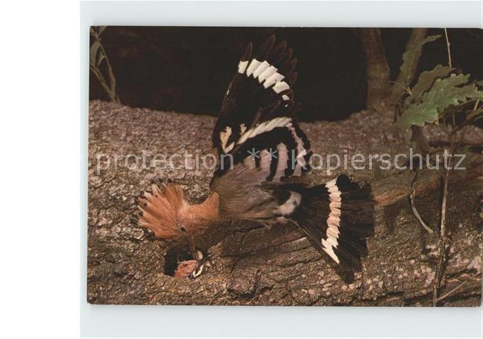 Voegel Wiedehopf am Nest Spendenkarte DJH Kat. Tiere