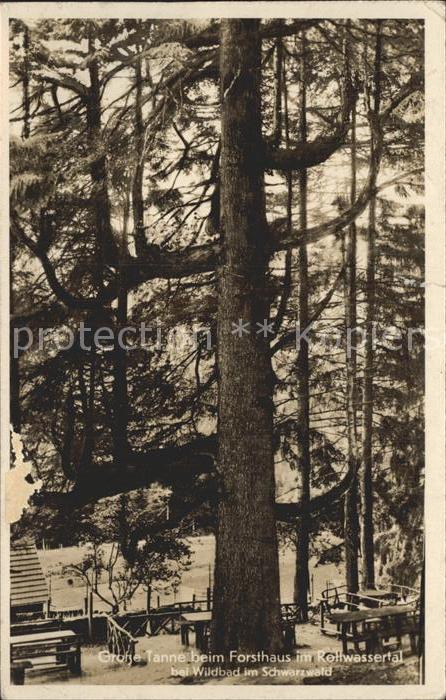 Baeume Trees Grosse Tanne Forsthaus Rollwassertal Schwarzwald  Kat. Pflanzen