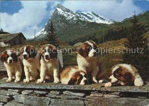 Bernhardiner Junge Bernhardiner Hunde  Kat. Tiere