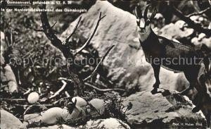 Gemse Gemsennest Nordostsuedwestwand Gamskogel Foto H. Huber Nr. 5564 Kat. Tiere