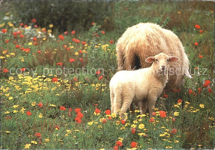 Schafe Lamm Ostern  Kat. Tiere