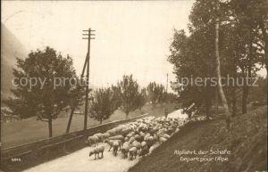 Schafe Alpfahrt Schweiz Kat. Tiere