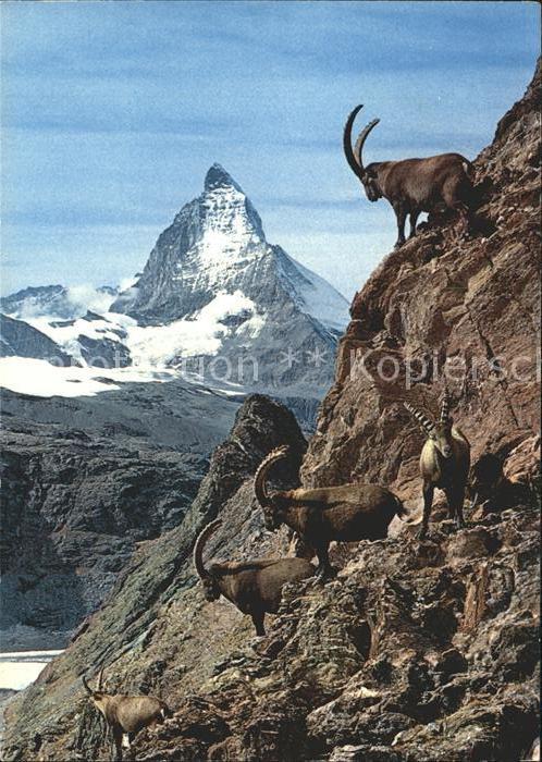 Steinbock Zermatt Matterhorn Mt. Cervin Kat. Tiere