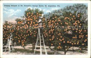 Orangen Oranges Picking Oranges Dr. Garnett s Orange Grove St. Augustine Florida Kat. Landwirtschaft