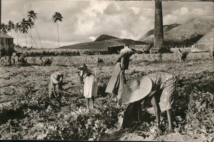 Saint Kitts Nevis Reaping Sweet Potatoes / Basseterre /